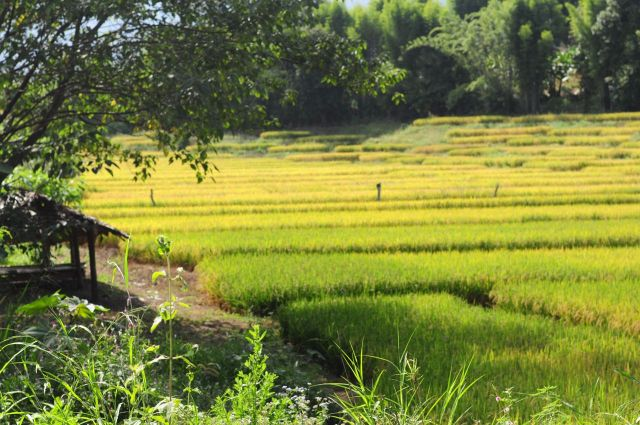 北タイのたんぼ Rice paddy in Northern Thailand near Pai